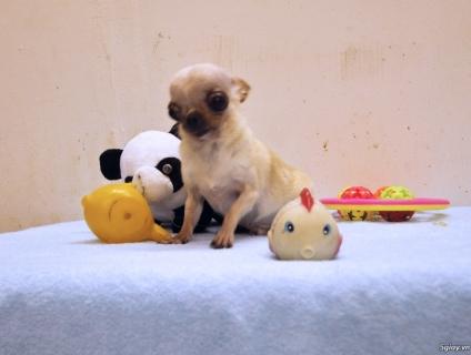 Chihuahua đực giống siêu TEACUP cực đẹp